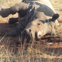 Shambula lies lifeless after poachers shoot her and cuts off both her horns. Done by a professional group judging by the technique used.